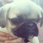 New Instagram: #pug #dog #puppy #cute #animal #funny #summer #bbq