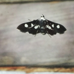 New Instagram: i like your #style, #moth who thinks he's a #butterfly … #insects #bugs #animals #cool #black #white