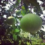 New Instagram: 柚子 #水果 #柚子 #台灣 #北埔 #旅行 #柚子