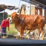 New Instagram: 在彰化看到了一隻好大,好漂亮的牛 她真的站在那個人的旁邊,比他高很多 真的沒看過這麼高,這麼健康的牛 我不知道一般的人也會覺得很特別, 還是我變成了太鄉下的人 ……..